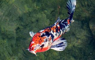 koi fish health