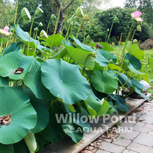 Lotus Nelumbo Large