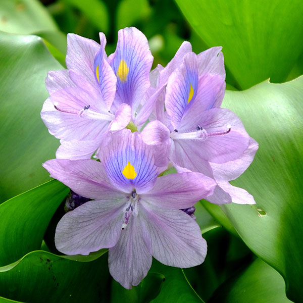 Floating Plants for Sale Water Hyacinth
