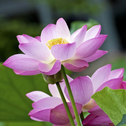 Lotus Plants for Sale