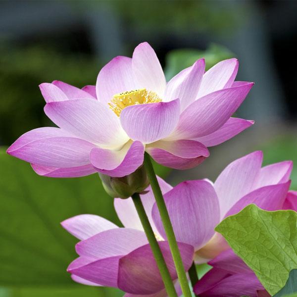 Lotus Plants for Sale