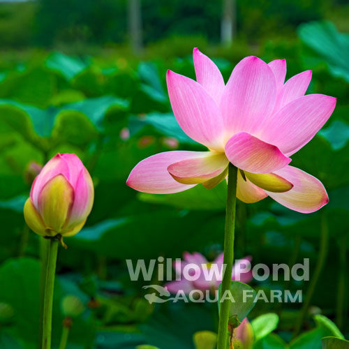 Lotus Plants Water Garden Dwarf
