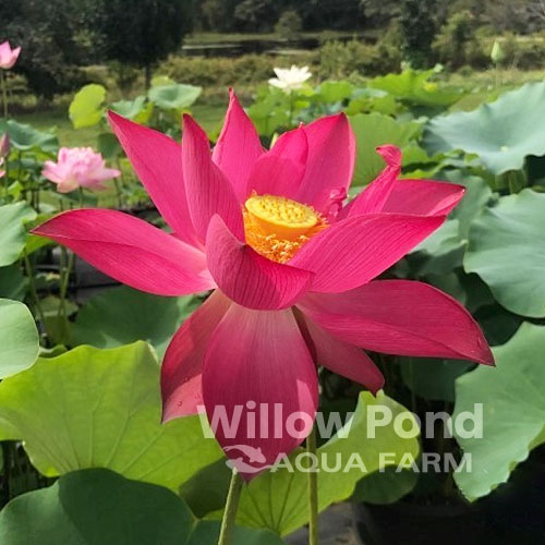 Lotus Plants Nelumbo Medium