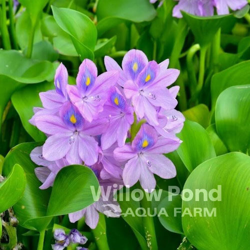 Water Hyacinth Floating Plants for Sale